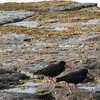 Sooty Oystercatchers at Murramarang